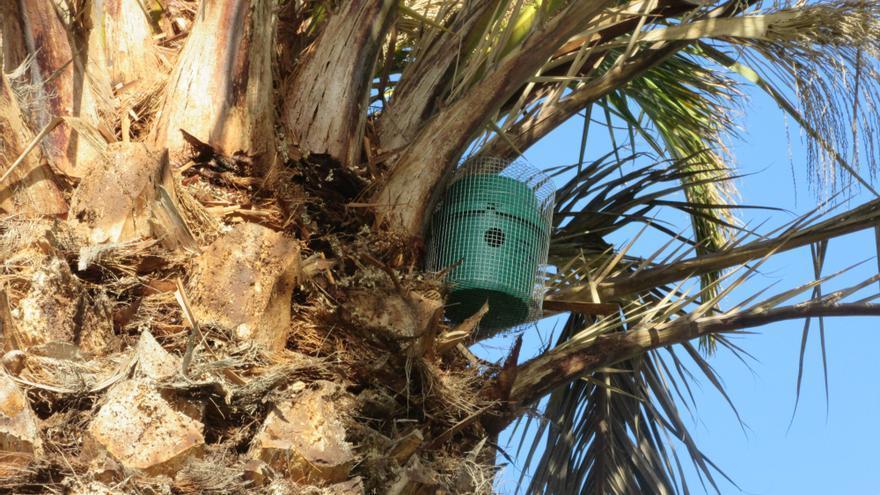 Una de las trampas colocada en la corona de una palmera canaria