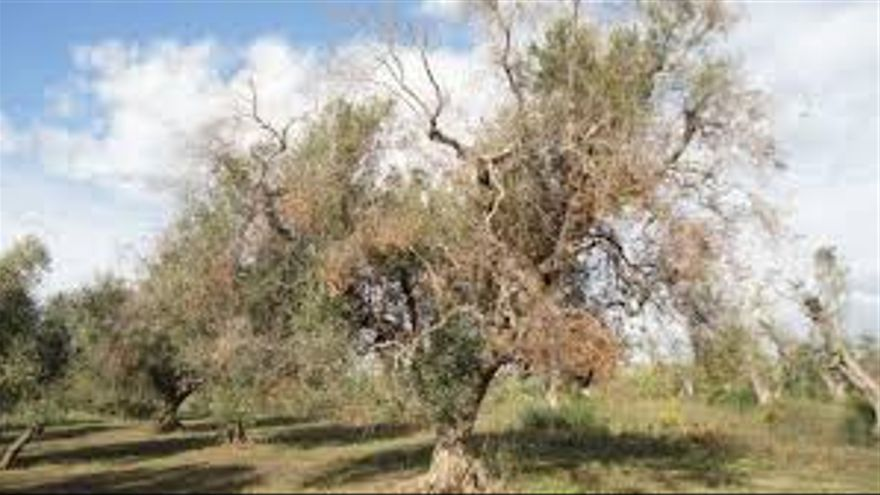 Efectos de la bacteria xylella fastidiosa sobre una plantación de olivar en Italia.