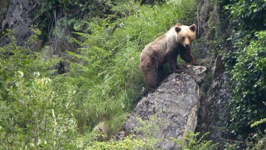 Banquete adelantado de bellotas para los osos cantábricos