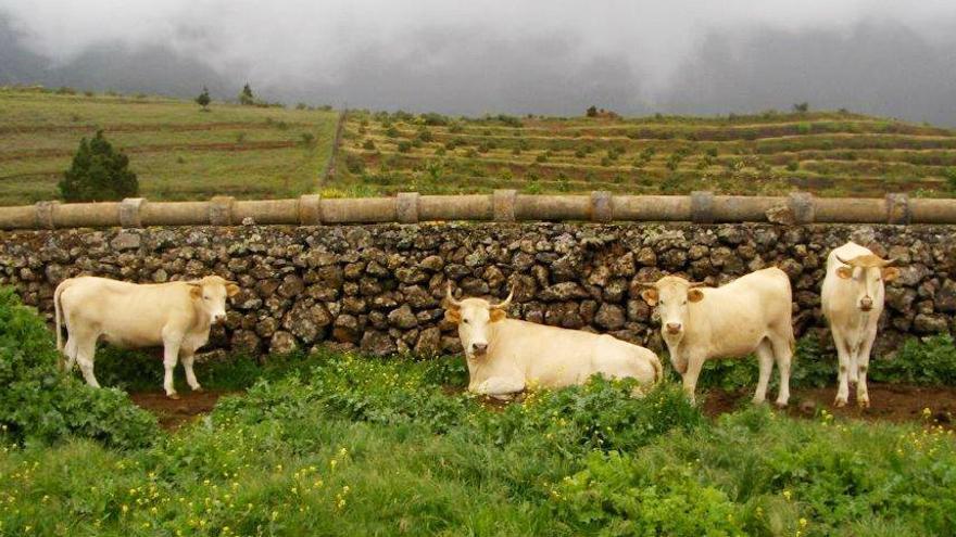 Ejemplares de ganado vacuno palmero.