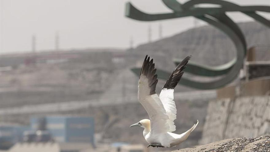 Momento en el que el ejemplar de alcatraz limpiado y rehabilitado por el Centro de Recuperación de Fauna Silvestre alza el vuelo. (EFE/Ángel Medina G).