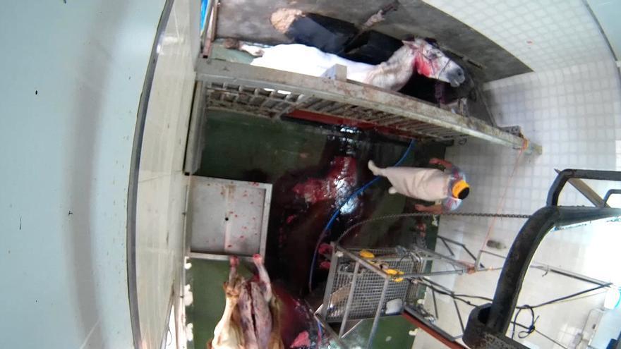 Las duras imágenes de un matadero municipal en Albacete para denunciar prácticas de maltrato animal