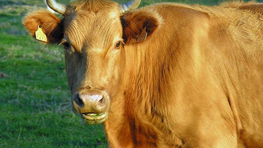 Vaca en Arzúa (Galicia).