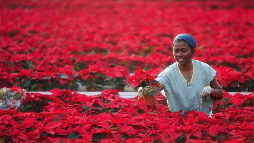 Unos 7 millones de poinsetias engalanarán hogares y escaparates esta Navidad