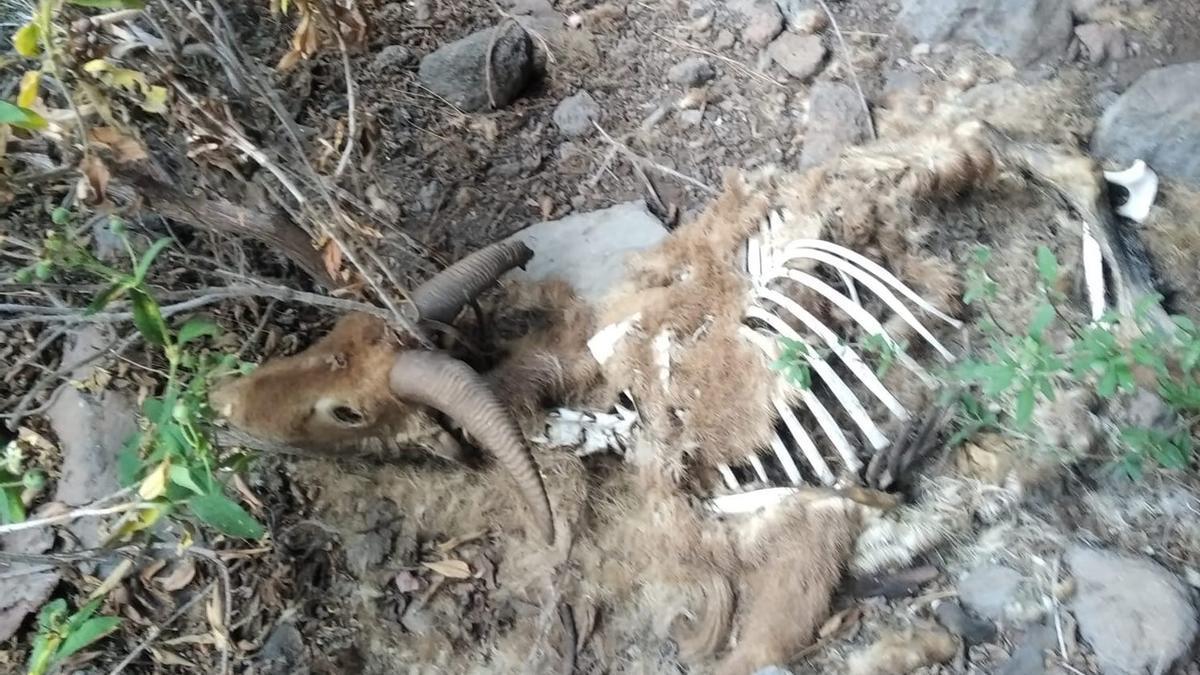 Imagen de un arruí en estado de descomposición.