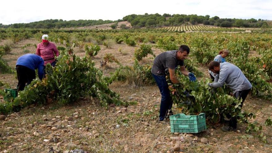 Toro ultima la peor campaña en doce años con catorce millones de kilos de uva