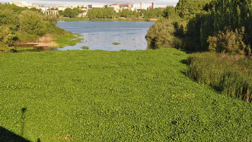 Esta planta amazónica ocupa cada vez más extensión de río en Mérida a su paso por el Puente Romano / JCD