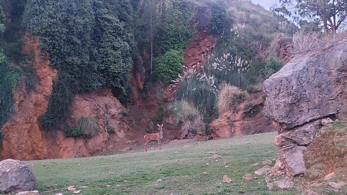 Ejemplar de ciervo en el Parque de la Naturaleza de Cabárceno antes del anochecer.