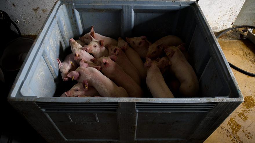 Lechones en un contenedor de plástico a la espera de ser matados.