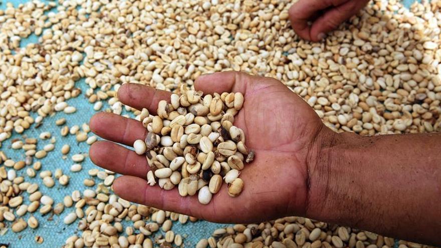 El cambio climático modificará las zonas aptas para producir café, predice un estudio