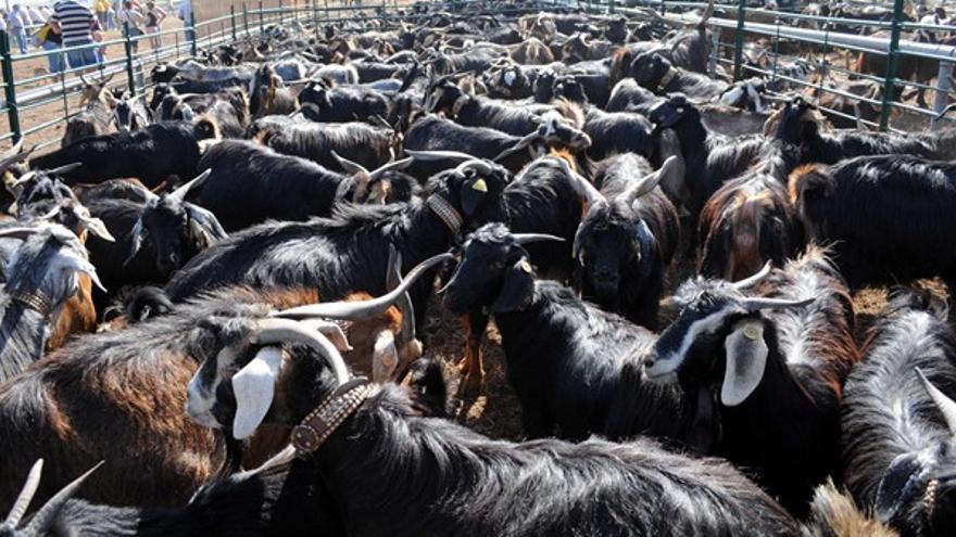 Manada de cabras estabuladas en la feria, en una imagen de archivo