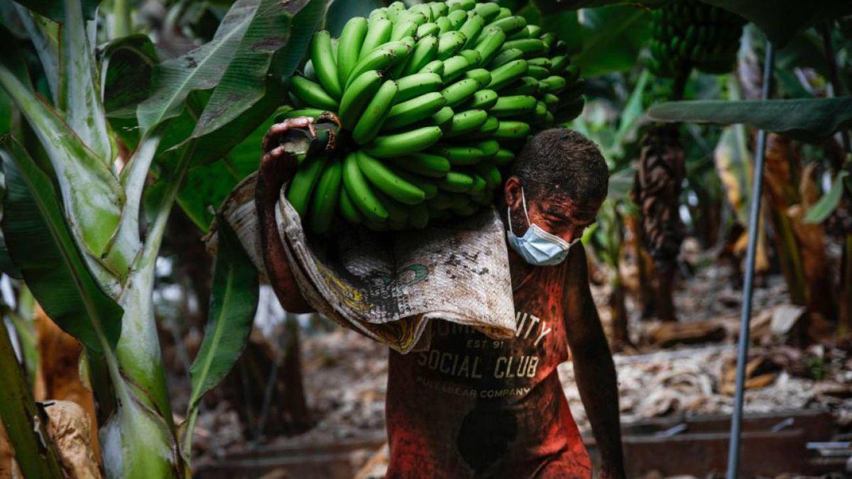 Recogida de plátanos en La Palma en cultivos afectados por ceniza volcánica