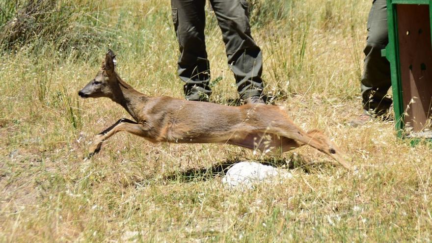 Se consolida la población de corzo en el Parque Natural Sierra de Huétor