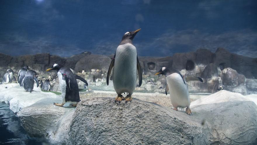 Pingüinos cautivos en el zoológico Faunia de Madrid