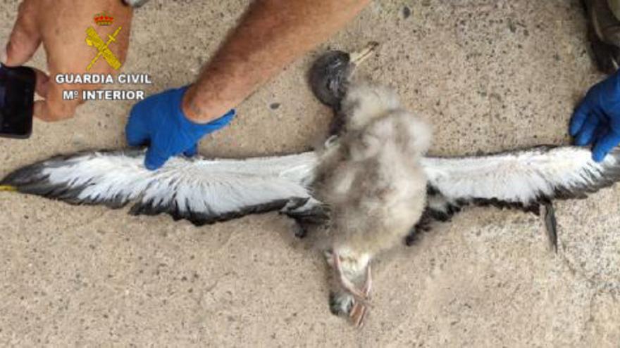 Investigados en Fuerteventura tres cazadores furtivos de pardelas