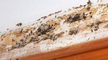Termitas americanas en una pieza de madera, en la isla de Tenerife