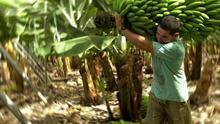 Corte y transporte de piña de plátanos en una finca de Canarias.