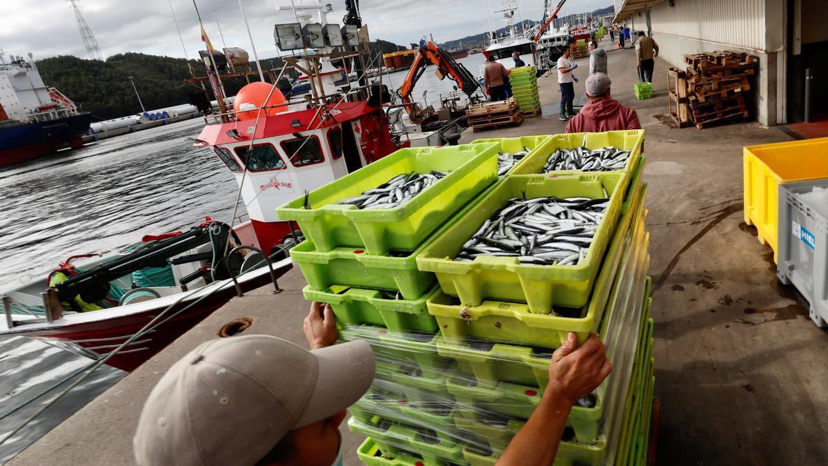 Varios pescadores descargan bocarte tras faenar en el Cantábrico.