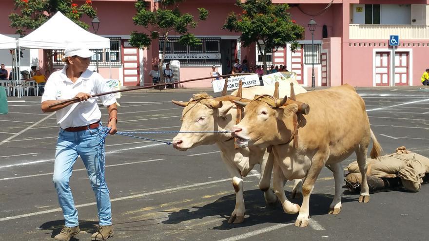 En la imagen, Rosa en el Concurso de Arrastre celebrado en Breña Alta. Foto: LUZ RODRÍGUEZ.