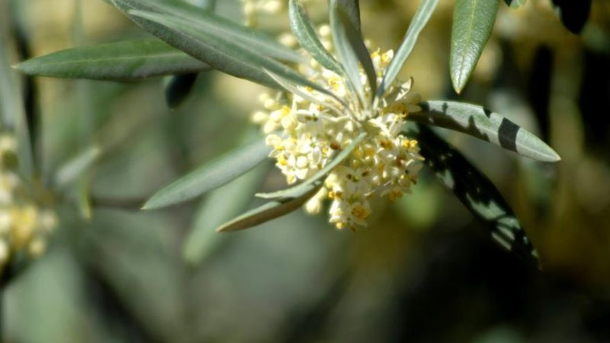 Flor del olivo.