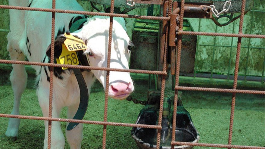 Un ternero separado de su madre en una granja de la industria láctea. Foto: Igualdad Animal