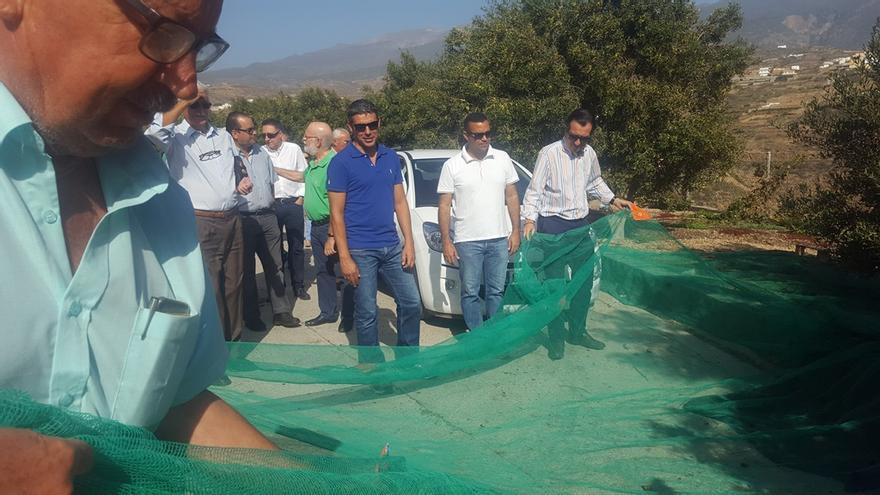 Actividad de recogida de olivas en tierras altas de Arico, este sábado