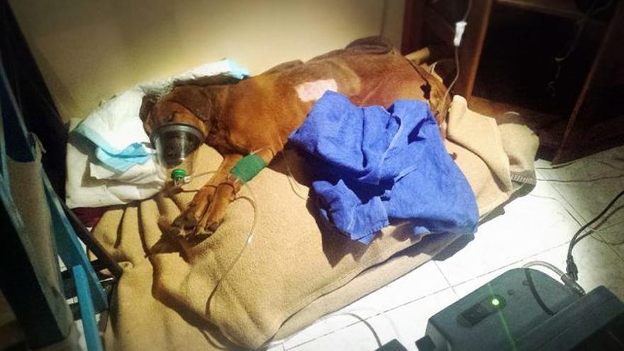 El perro King, rescatado en 2016 en Lanzarote tras sufrir un brutal maltrato