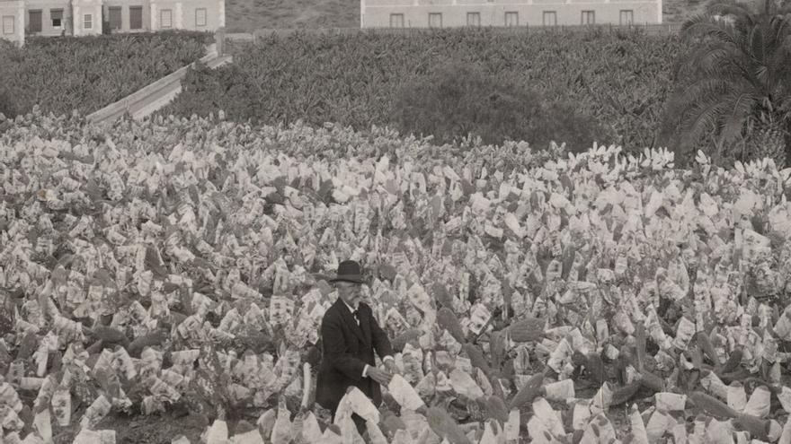Cultivo de cochinilla en Canarias a comienzos del Siglo XX. (Fedac)