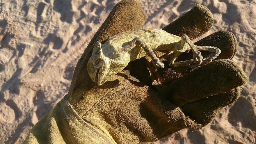 Camaleón muerto en el incendio de los pinares de Mazagón en Doñana.
