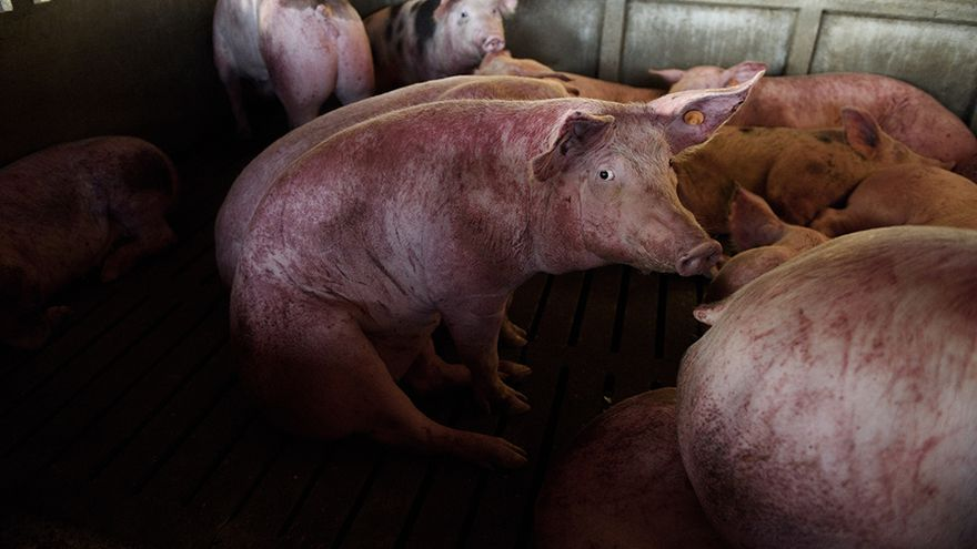 Cerdo superviviente a la riada del Ebro. Villafranca de Ebro
