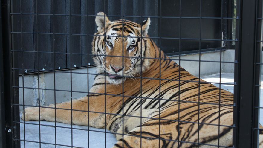 Tigre enjaulado/ R.L.T.