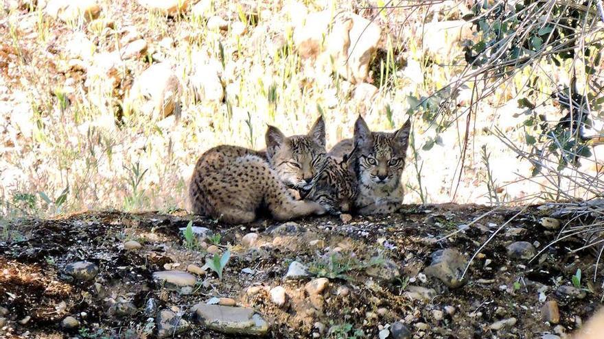 Nuevos linces que nacen silvestres en Castilla-La Mancha