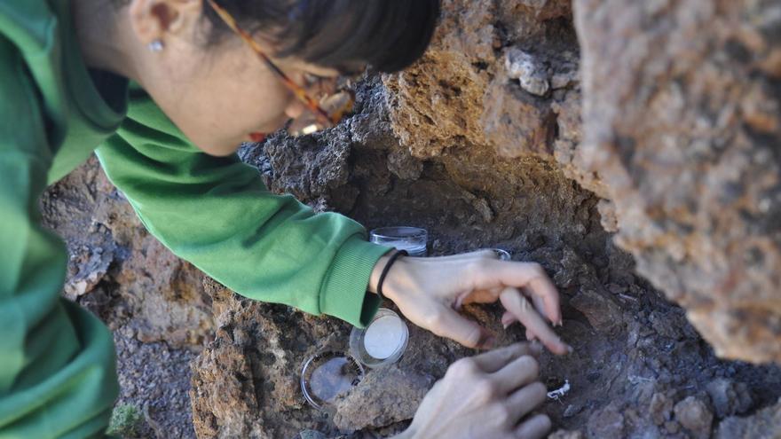 la reintroducción está siendo realizada por Alexandra Rodríguez, investigadora del Grupo de investigación Plant Conservation and Biogeography. Foto: PARQUE NACIONAL DE LA CALDERA.