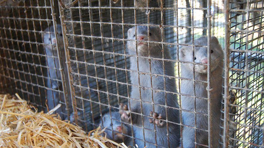 El Gobierno de Aragón ordenó hace unas semanas el sacrificio de más de 90.000 visones de una granja de La Puebla de Valverde (Teruel) tras constatar un brote de coronavirus en los animales.
