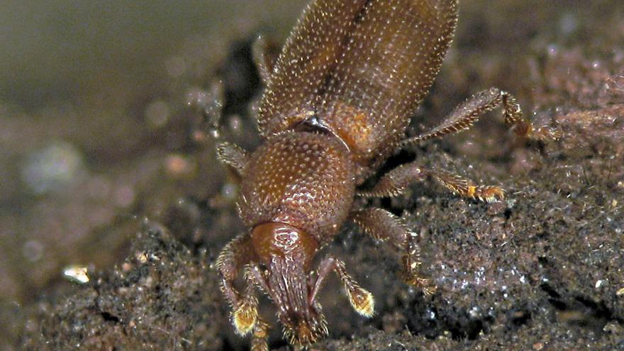Descubiertas tres nuevas especies de insectos que viven bajo el suelo volcánico de Canarias