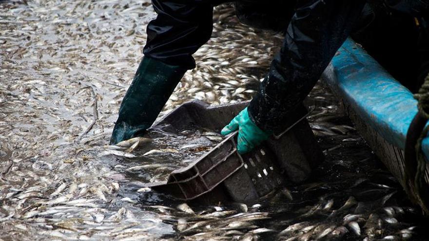 Expertos estudian las causas de la muerte masiva de sardinas en Chile