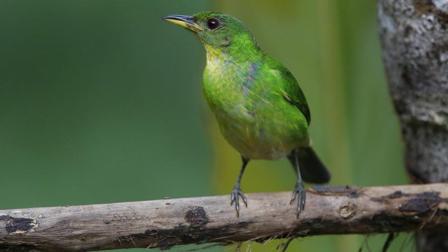 Un pájaro australiano se olvida de cantar por el declive de su población