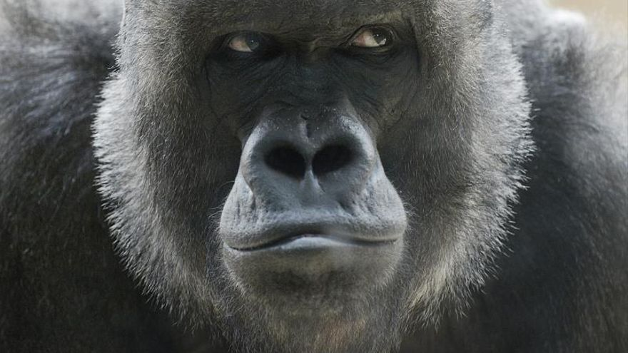 El estatus social determina el éxito reproductivo de las gorilas de montaña