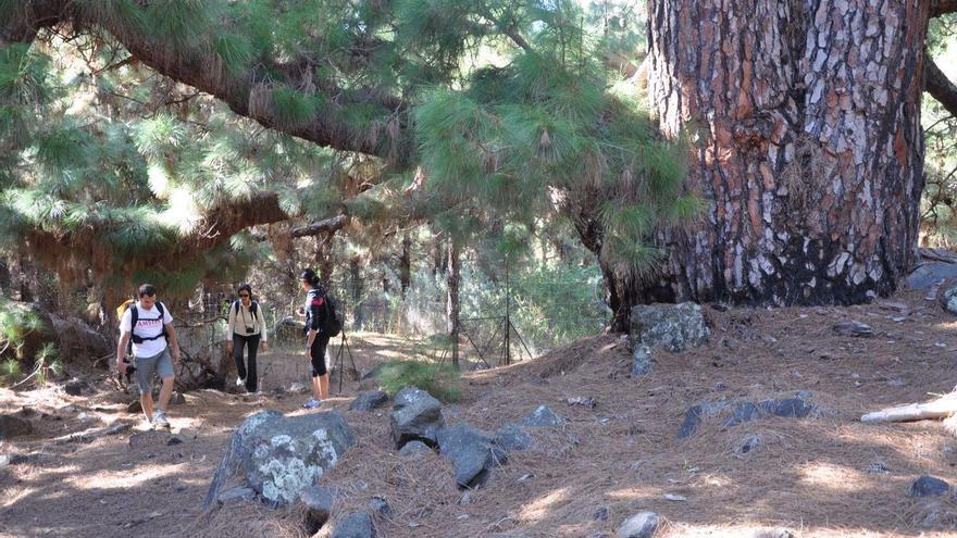 El perímetro normal del pino de mayor envergadura alcanza  los 8,70 metros. Foto: Ángel Palomares.