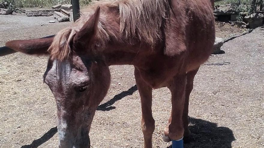 Un mulo famélico intervenido a su propietario en El Rocío, imputado por un delito de maltrato animal.