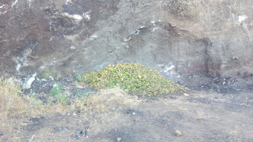 Residuos plataneros tirados sin control en La Palma, en una foto hecha este lunes (Mazo).