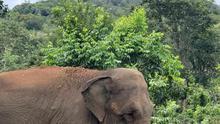 Mara probando la hierba del Santuario de Elefantes Brasil. Cautiva en circos y zoos, no había pastado en 50 años