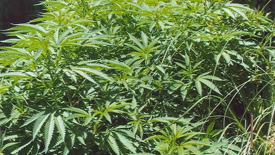 Florida aprueba el cultivo de marihuana medicinal en cinco viveros
