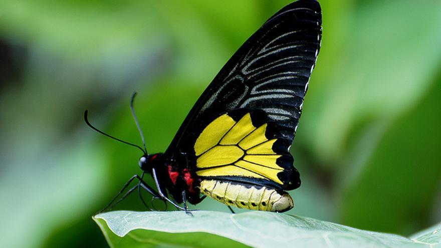 Ornithoptera euphorion, especie de mariposa que solo vive en el noreste de Australia.