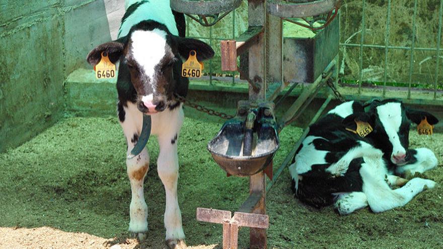 Terneros separados de sus madres nada más nacer en la industria láctea. Foto: Igualdad Animal