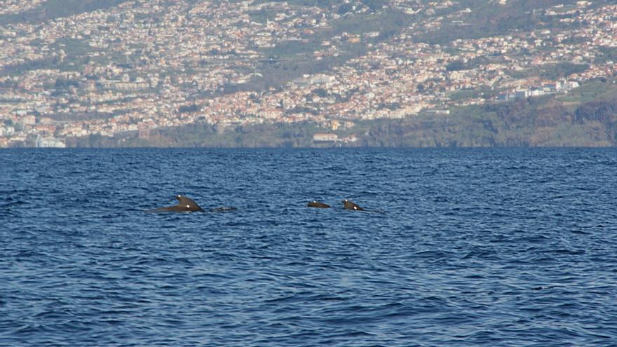 Un grupo de ballenas piloto frente a la costa de Funchal