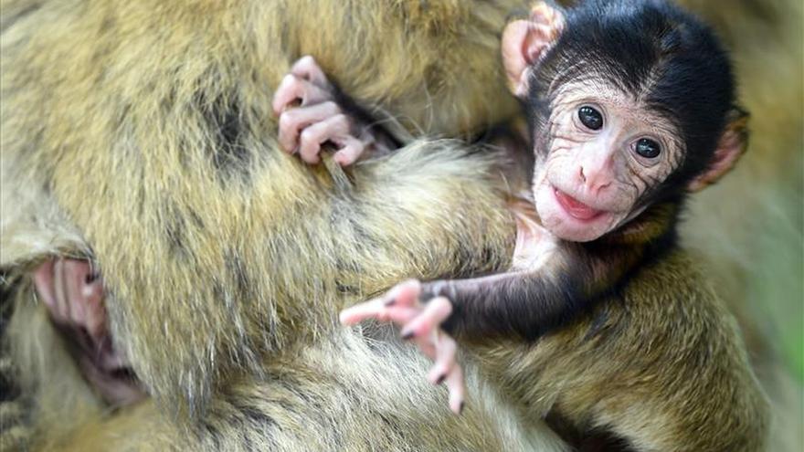 Hallan un ejemplar de macaco de Berberia, especie protegida, en un chalé