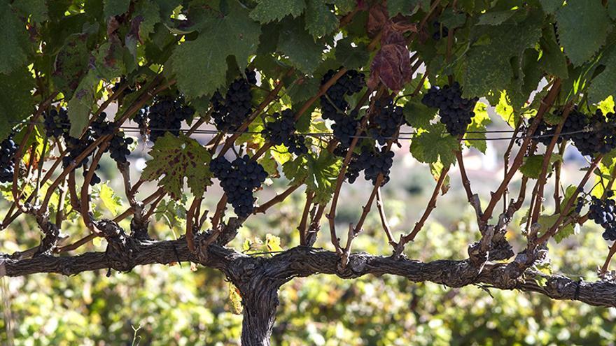 Vides de uva tinta en una explotación de Bodegas Viñátigo