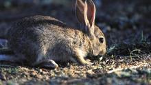 """Castilla-La Mancha articulará """"de forma legal"""" que se puedan cazar conejos para proteger al sector agroalimentario"""