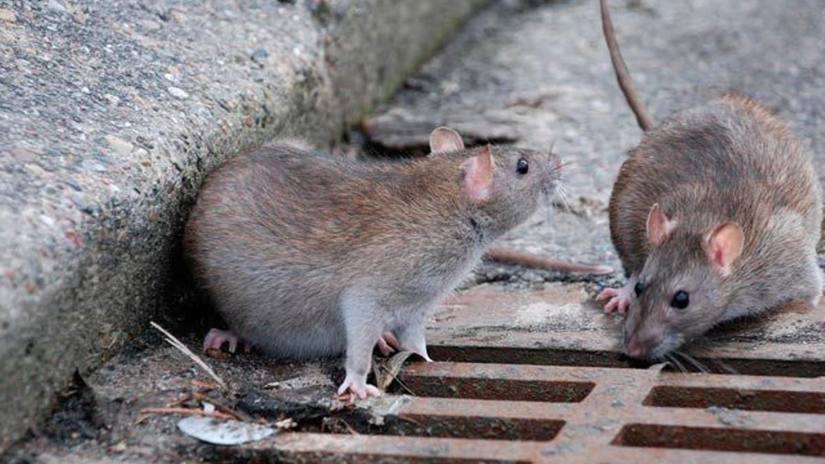 Imagen difundida por el PP para denunciar una plaga de ratas en San Bartolomé de Tirajana
